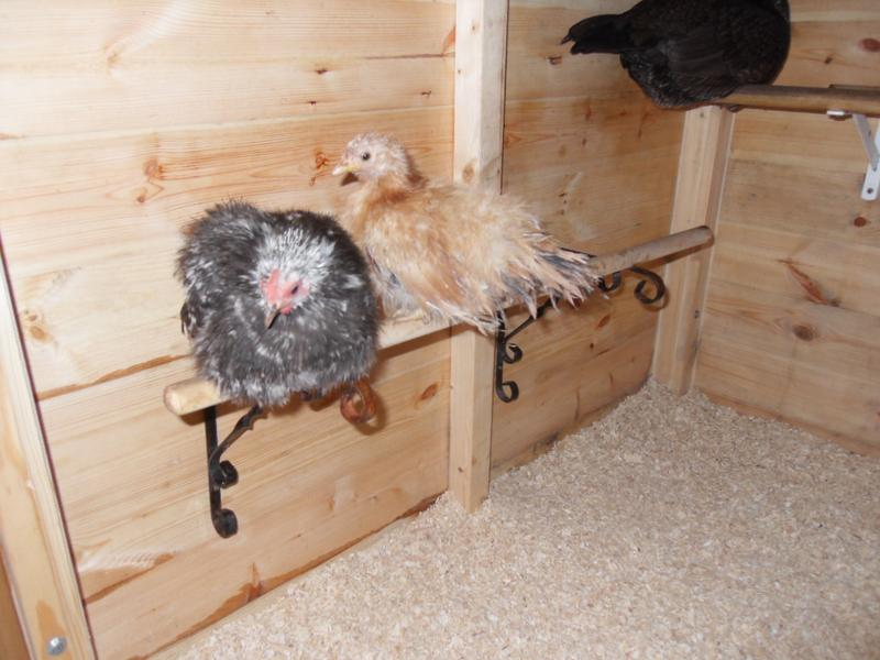 Pebbles and Rusty jumped to the perch