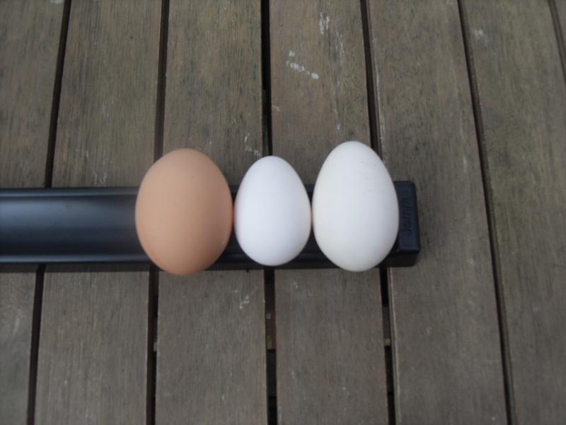 Standard hen's, shop bought egg on the left, Barley's fifth egg of the year in the middle and Speckles first egg of the year on the right