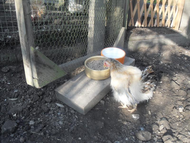 Apricot is the first to find the new feeding station